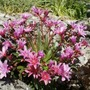 For KarenSusan63(comparison)Lewisia Little Plum as photographed at National Trust, Emmetts Garden today