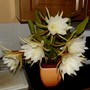 Rampageously Flowering Epiphyllum Cooperi