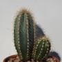 Pilocereus azureus
