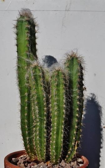 Pilocereus glaucescens
