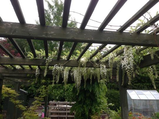 "wisteria 5/6/13 (Wisteria japonica alba ""snow showers"")"