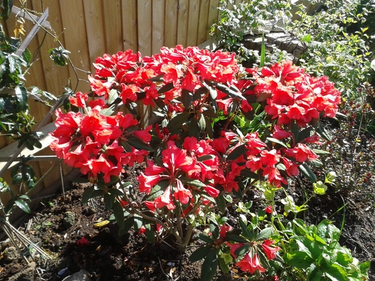 Rhododendron May Day