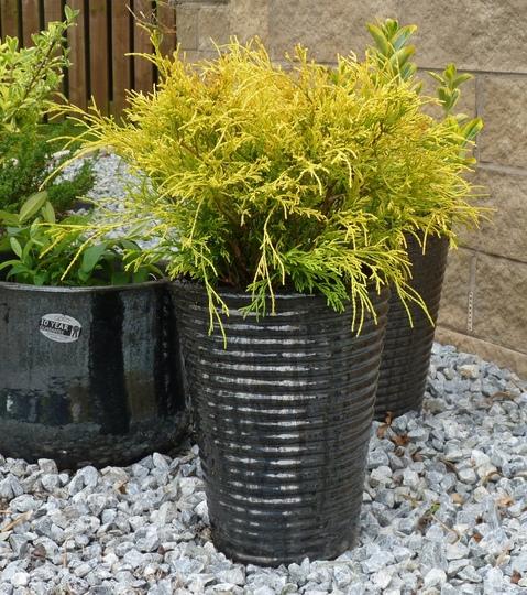 Chamaecyparis pisifera Filifera Aurea (Chamaecyparis pisifera (Sawara cypress))