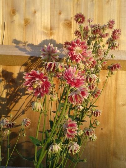 Aquilegia Nora Barlow (Aquilegia vulgaris (Columbine))