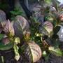 Hydrangea (sandra)