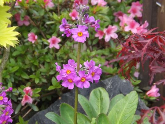 Primula beeniana (Candelabra Primula) (Primula beesiana (Candelabra primula))
