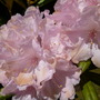 June_more_flowers_rhodys_002