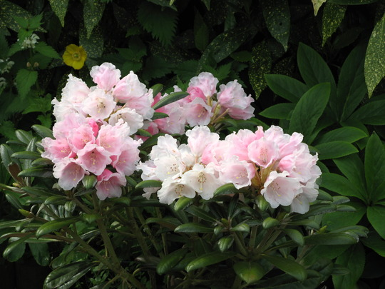 Rhodo Yak. species (K Wada) flowers just opened.