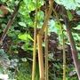 Bamboo (phyllostachys)