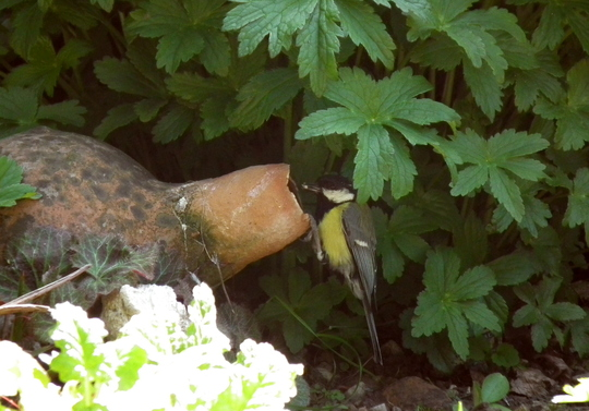 Great tit nesting in jug.