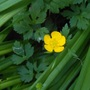 Creeping Buttercup Weed--picture inspired by Bornagain (Ranunculus repens)
