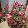 Adenium obesum - Desert Rose Flowering (Adenium obesum - Desert Rose)