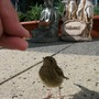 Robbins Chick, Hand Feed
