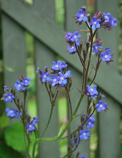 Anchusa azurea Dropmore Blue..... (Anchusa azurea Dropmore.)