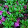 Rhododendron Fumiko Geisha Purple.