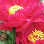 newest peony on this week's scene (p. lactiflora cultivar)