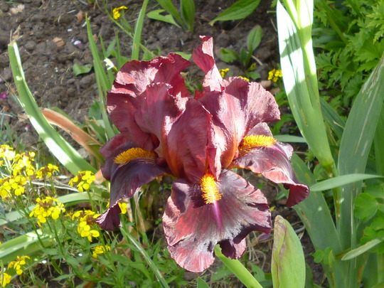 Iris 'Red Zinger' (Iris germanica)