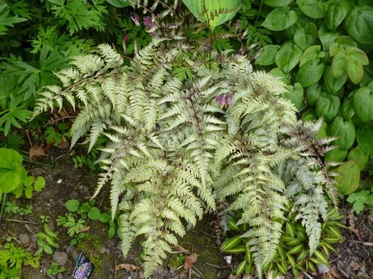 Japanese lady fern (Athyrium niponica pictum)