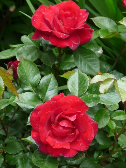For Amy ~ Rosa Ruby Wedding (Rosa)