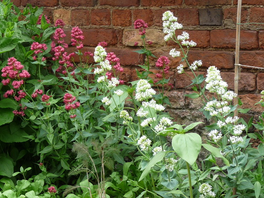 Red and white Valerian (Centranthus ruber (Red valerian))