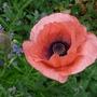 Oriental Poppy ~ Victoria Louise 2 (Papaver orientale (Oriental poppy))