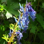 Corydalis elata x flexuosa 'spinners' (Corydalis elata x flexuosa spinners)