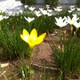 Shot of a Yellow lone lily with all the whites..  (Cant guess and the GOY suggestion just disappears as soon as i try to even search...)