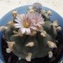 Lophophora williamsii - The Peyotle