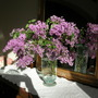 Lilacs, Glorious Lilacs!