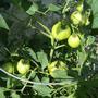 Tomatoes coming along