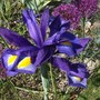 Iris 'Blue Magic'