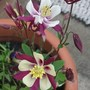 Aquilegia 'Colorado Violet & White' (Aquilegia 'Colorado Violet & White')