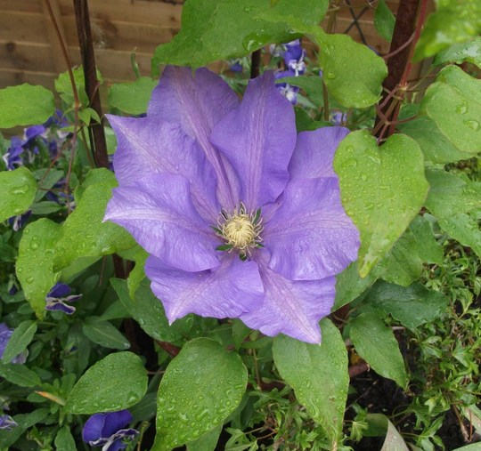 Clematis H.F. Young (Clematis H.F.Young)