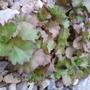 Sedum spurium atropurpureum