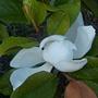 First flower on Magnolia tree