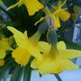 Narcissus pseudonarcissus (Daffodil)