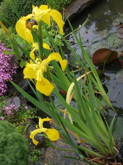 Iris Danfordiae (Iris danfordiae (Iris))