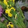 Iris danfordiae (Iris)