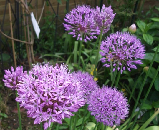Allium Purple Sensation (Allium  Aflatunense)
