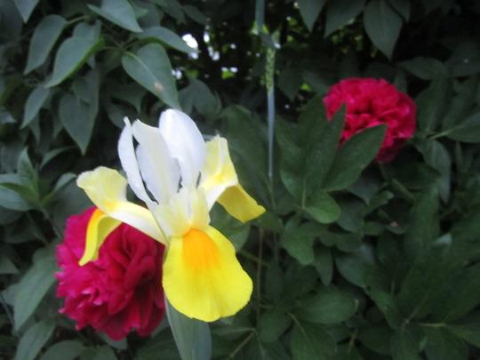 Yellow Iris (Iris xiphium (Dutch Iris))