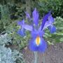 Blue Iris (Iris xiphium (Dutch Iris))