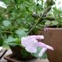 Salvia 'Peter Vidgeon' (Salvia x jamensis)