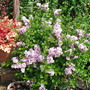 DWARF LILAC AT THE TOP OF STEPS TO CIRCLE GARDEN