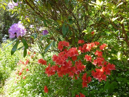 Mini Azalea and Rhododendron