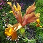 Dutch Iris 'Bronze Beauty' (Iris xiphium (Dutch Iris))