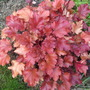 Heuchera_peach_flambe