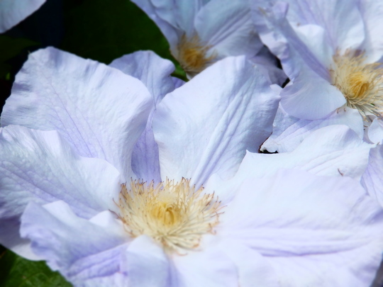 Clematis - Ice Blue