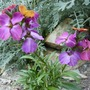 "Perennial wallflower ""Winter Orchid"" (Erysimum)"