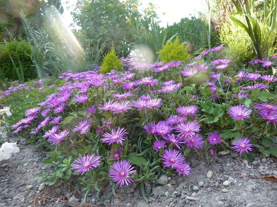 Perennial mesembryanthemum (Delosperma cooperi (Hardy Ice Plant))