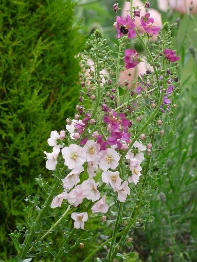Verbascum phoeniceums (Verbascum phoeniceum (Purple Mullein))